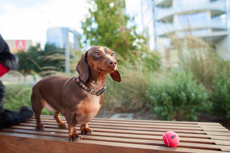Coco the dachshund at Klyde Warren Park by the dog