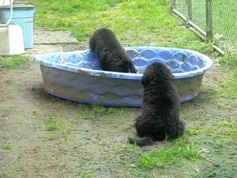 Newfoundland Puppies Check Out Newfoundland Dog Training Tips Here Http Tipsfordogs Info 90d Newfoundland Dog Puppy Newfoundland Puppies Newfoundland Dog