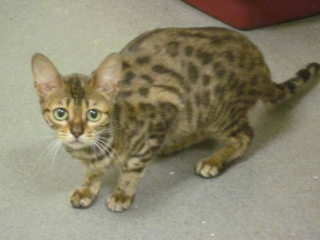 Urgent So California Bengal Breeder Died Recently Without Making Provisions For His 30 Cats So They All Ended Up At The Co Animals Pet Adoption Cat Adoption