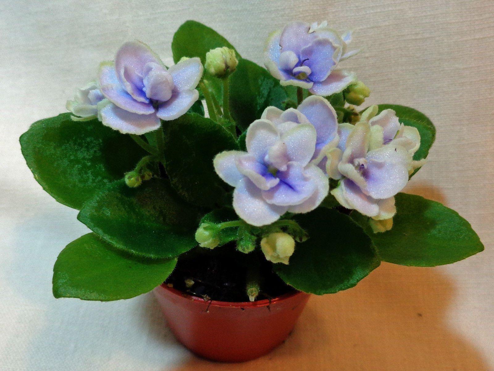 Petites Plantes Fleuries En Pot african violet jolly orchid miniature plant in pot | ebay