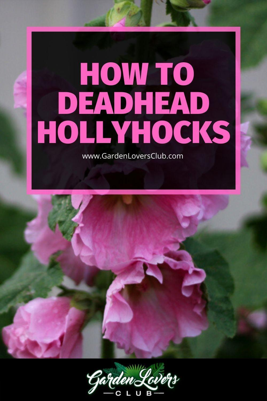 How To Deadhead Hollyhocks In 2020 Hollyhock Garden Lovers Club Outdoor Flowering Plants