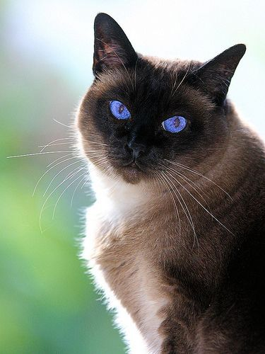 Applehead Siamese Cat This Beautiful Cat Looks Just Like Our Sookie Who We Got As A Kitten And Was A Beloved Member Of Our Family For 20 Year