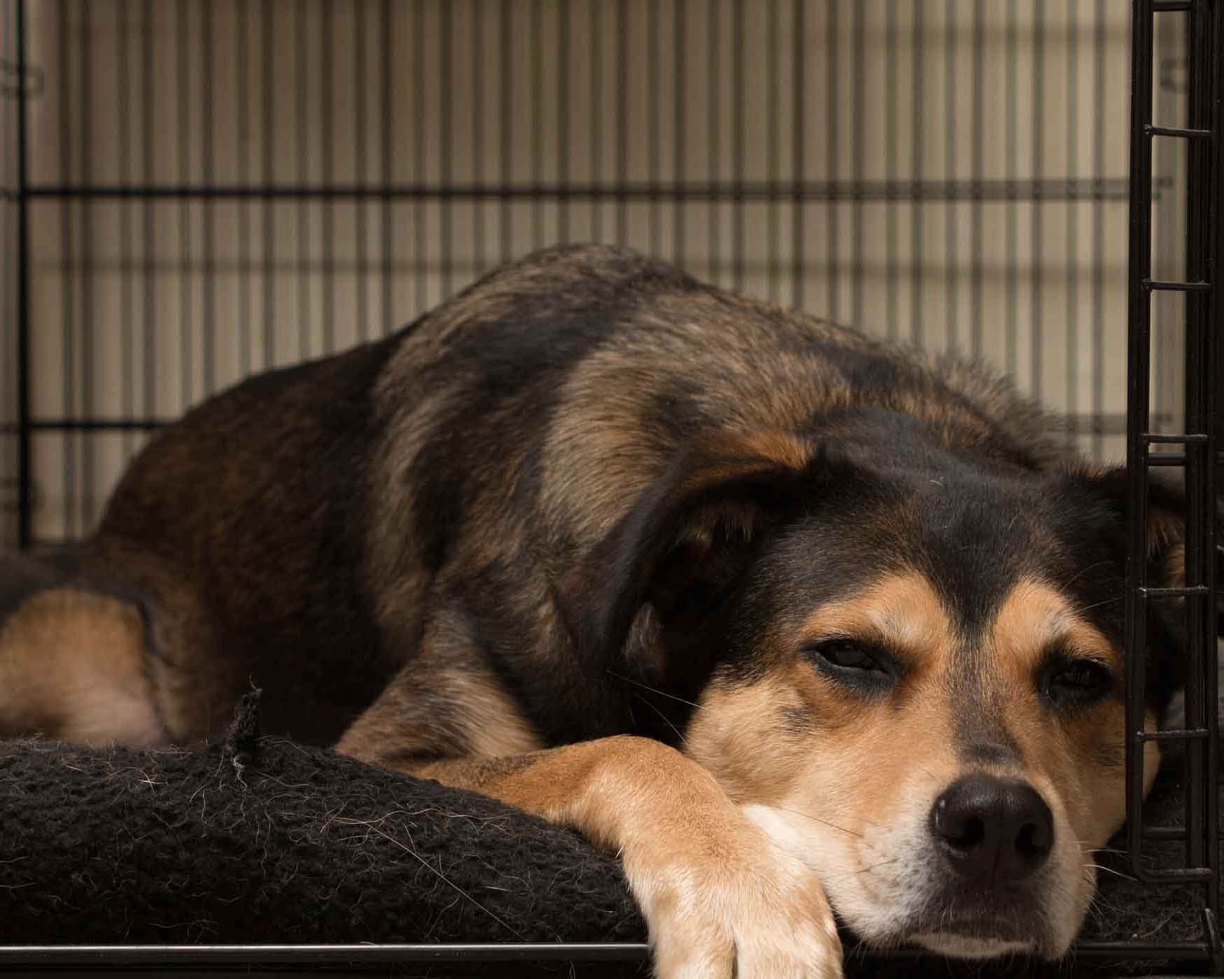 I Like Sleeping In My Crate At Night It Is My Safe Place It Is Common For Dogs To Like To Have German Shepherd Puppies Training Cattle Dog Puppy Dog Training