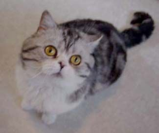 Straight Ear Scottish Folds Are Just As Cute British Shorthair