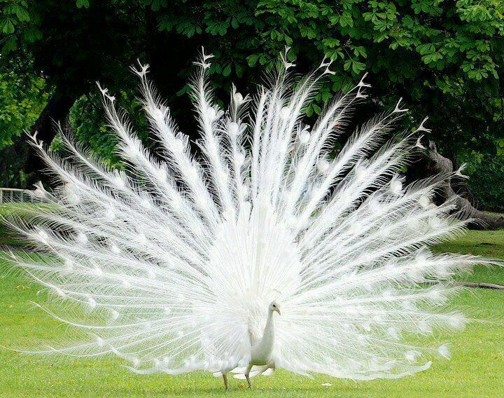 Albino peacock - beautiful!