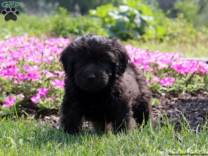 Doyle, Mini Whoodle puppy for sale from Lancaster, PA