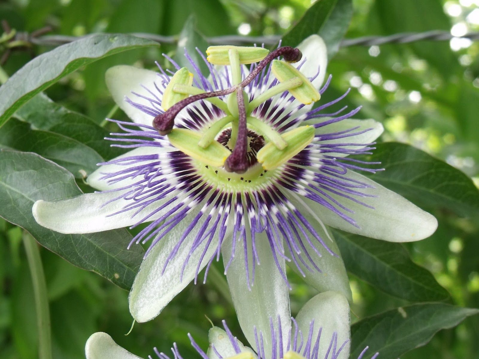 pasionaria o mburucuy passiflora caerulea passion flower flor naciona de paraguay plants. Black Bedroom Furniture Sets. Home Design Ideas