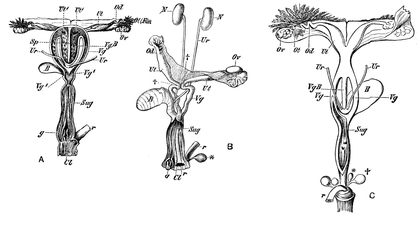 Female Reproductive Anatomy Of Several Marsupial Species Anatomy