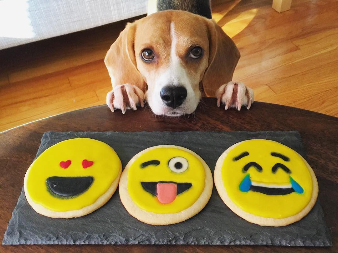 """Happy NationalCookieDay! ️"" Beagle buddies, Beagle dog"