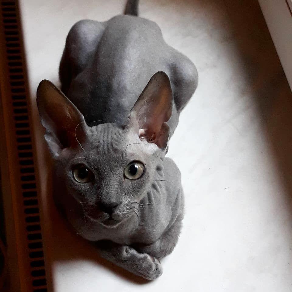Sphynx Cat In 2020 Cute Hairless Cat Spynx Kitten Funny Cute Cats