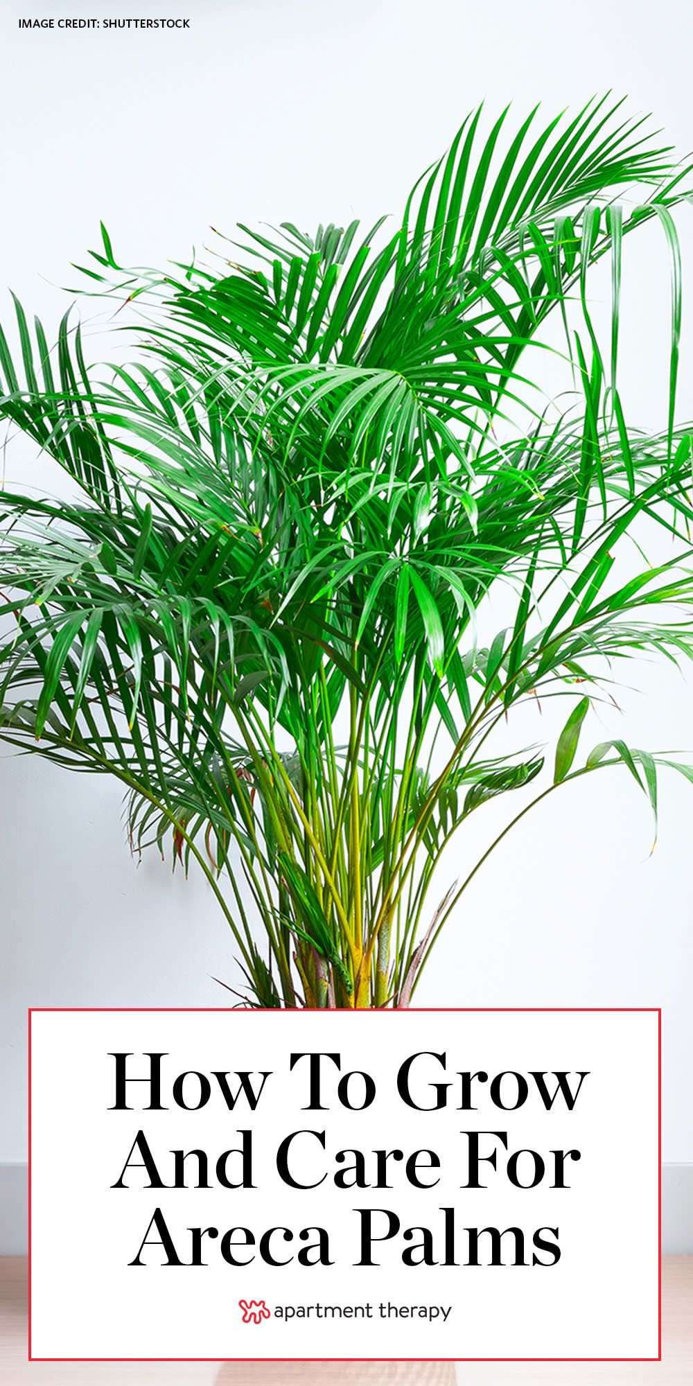 Areca palms are the toxinfiltering tropical houseplants