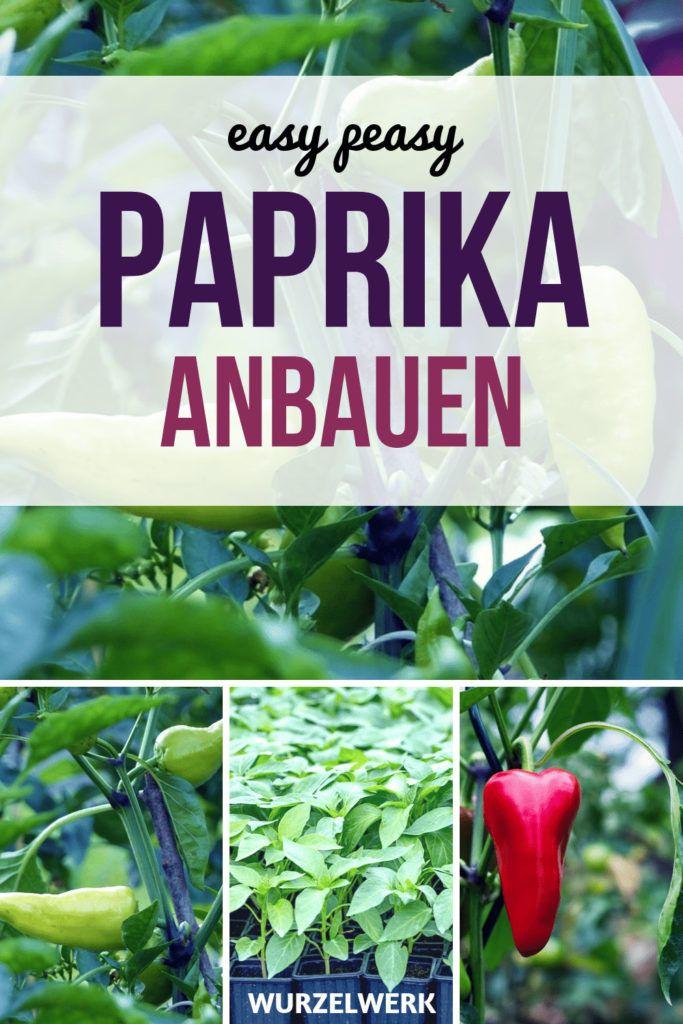 Paprika pflanzen und anbauen - und zwar so #herbsgarden