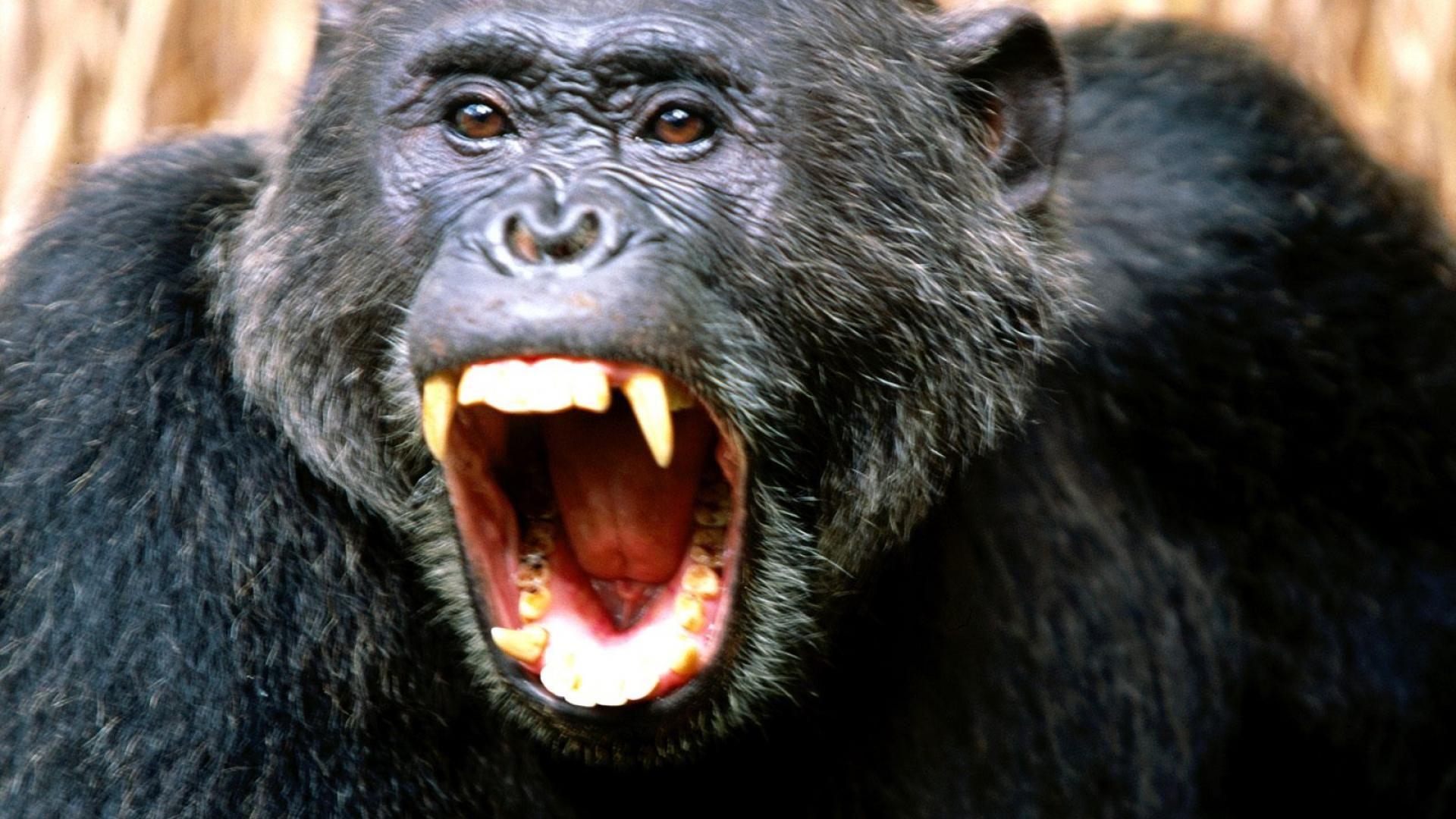 Angry Chimpanzee | Gorilas