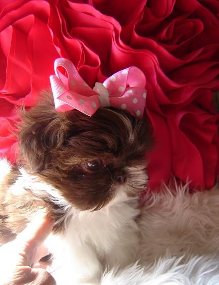 ~babydoll face~ Our Shih Tzu Baby