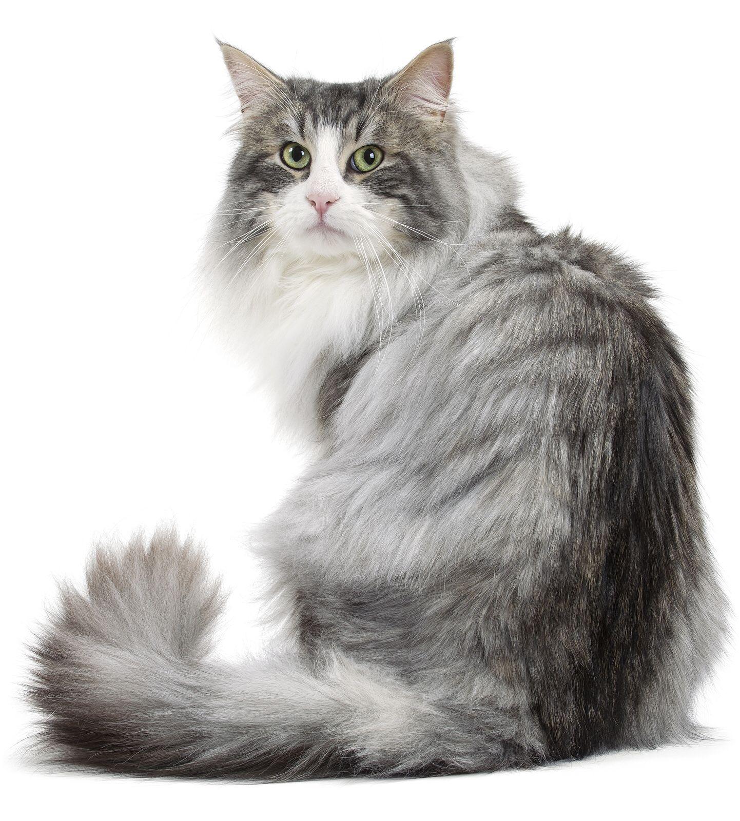 Norwegian forest cat Norwegian forest cat, Forest cat