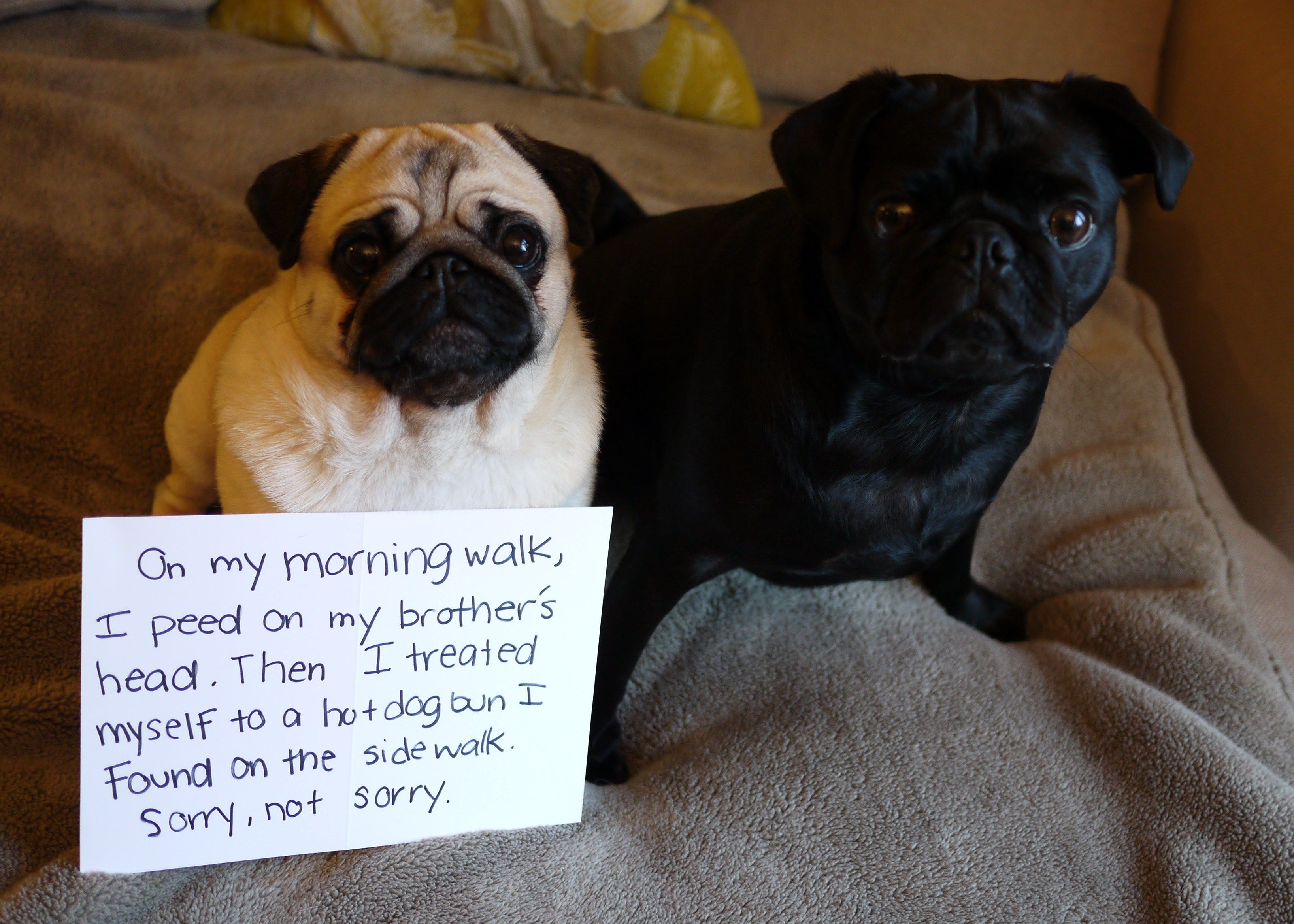 Dogshaming A Pug With No Apologies On My Morning Walk,