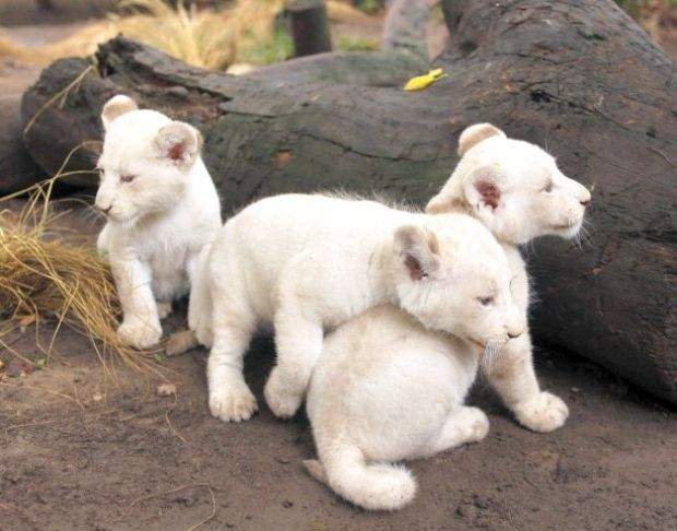 Filhotes de leão branco