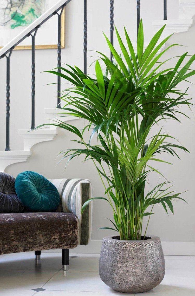 Zimmerpflanzen Wenig Licht Kantiapalme