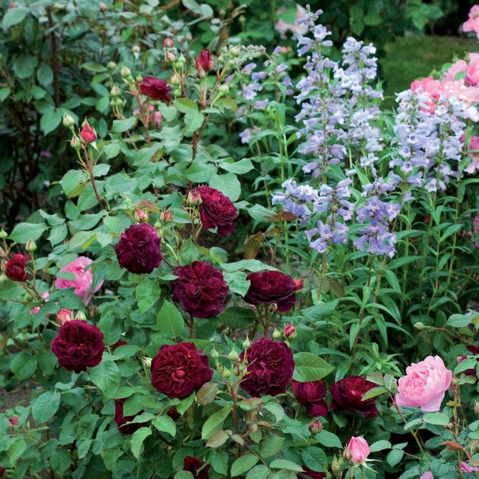 munstead wood rose munstead wood rose pinterest. Black Bedroom Furniture Sets. Home Design Ideas
