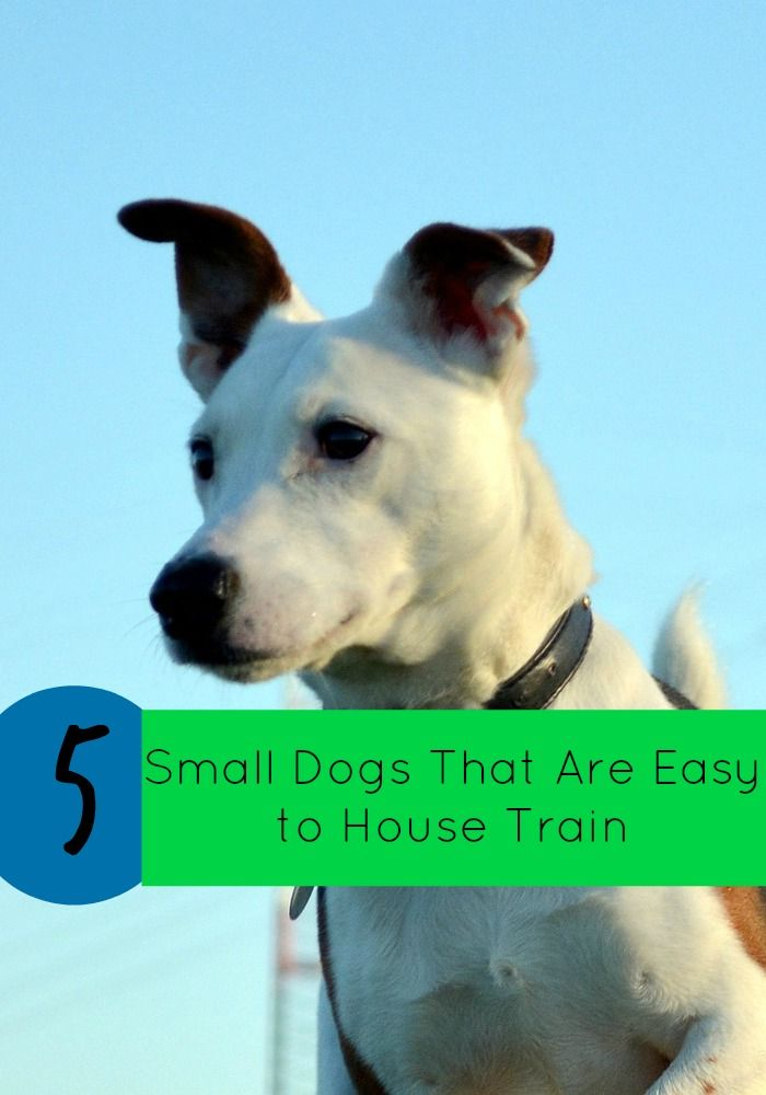 5 Small Dogs That Are Easy To House Train Small Dogs Dogs