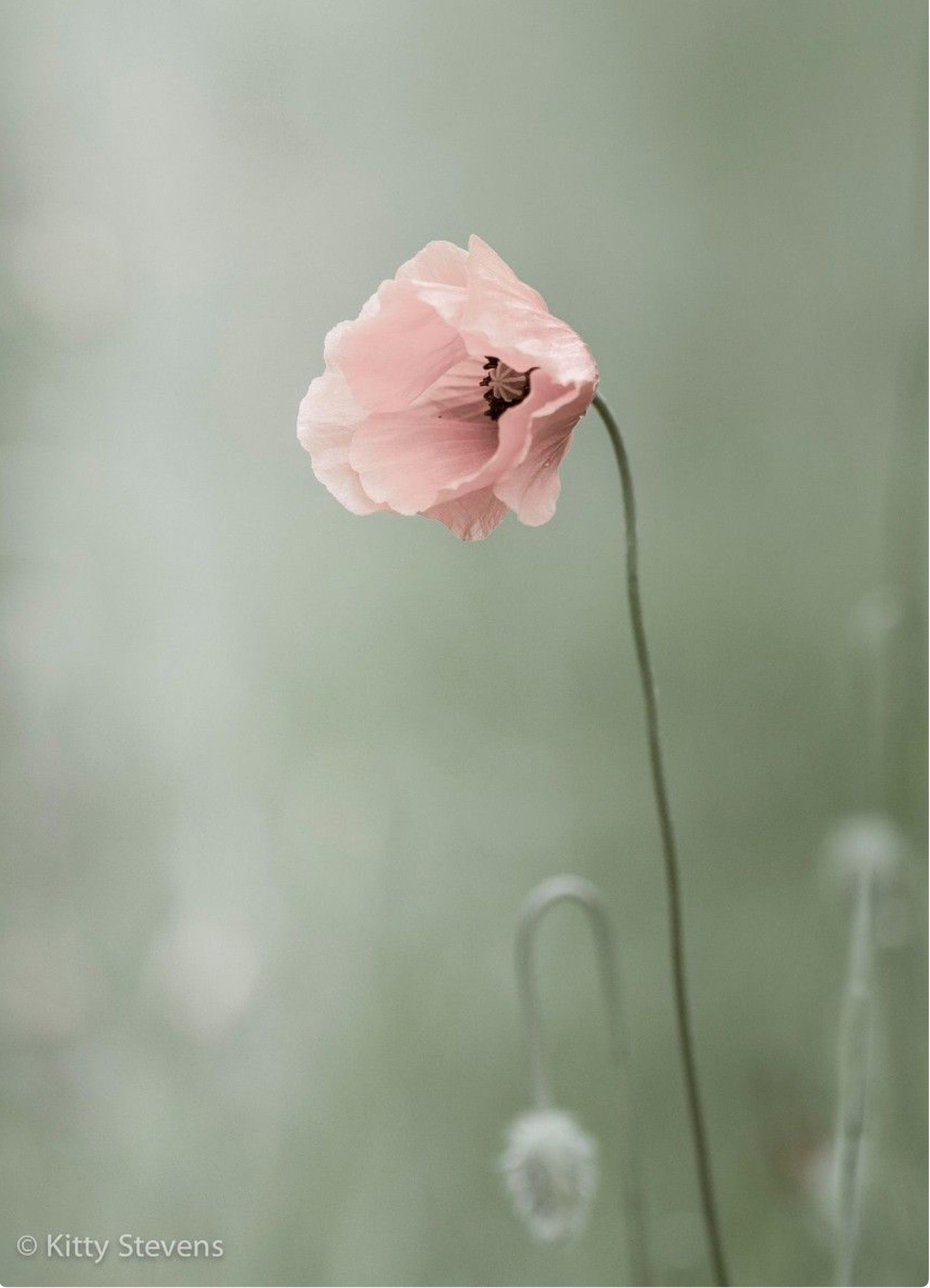 Pin By Rose On Flowers Pink Flowers Poppy Flower Beautiful Flowers