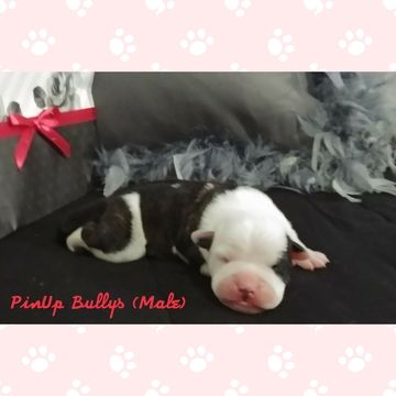 Litter of 8 Olde English Bulldogge puppies for sale in