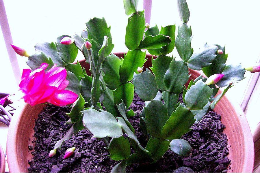 Christmas Cactus Grow lights for plants, Plants, House