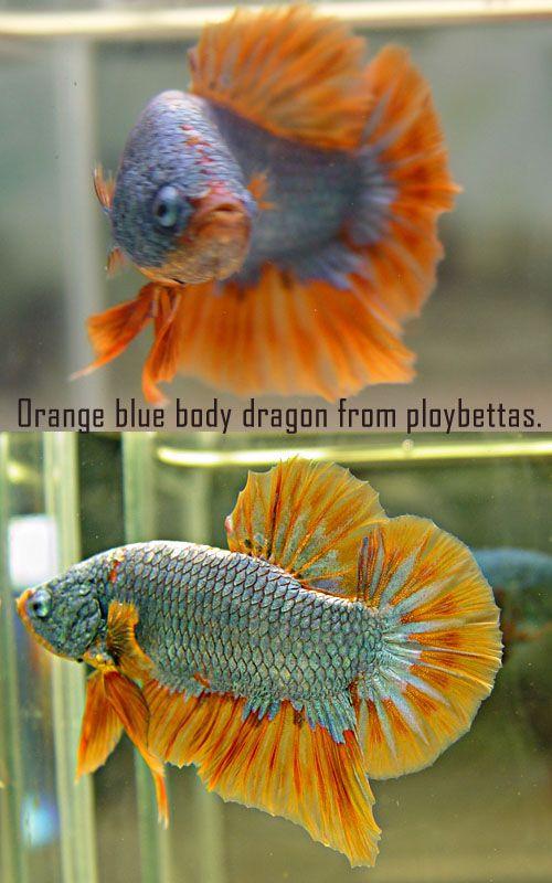Orange dragon bluebody hmpk