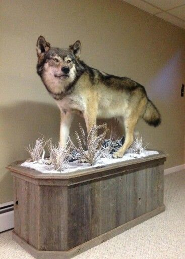 Minnesota Timber Wolf Mount Taxidermy In 2019