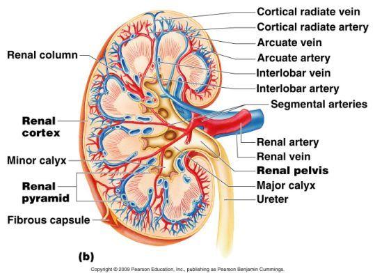 anatomy physiology kidney on anatomy   Anatomy/Physiology   Pinterest