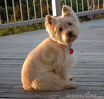 Cairn Terrier Short Hair Google Search Cairn Terrier Puppies