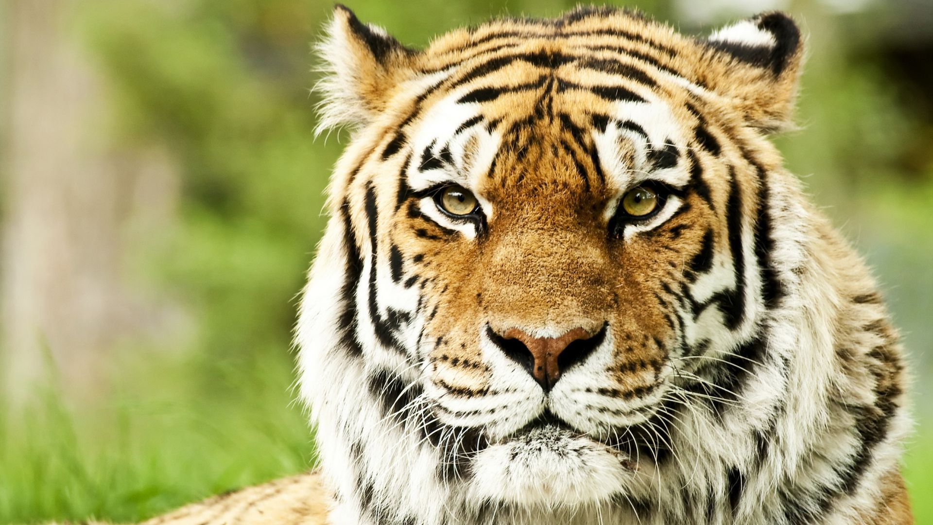 Full HD 1080p Tiger Wallpapers HD, Desktop Backgrounds