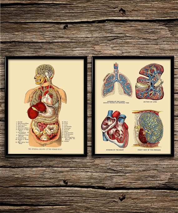 Internal Organs Anatomy Set | Vintage Prints | Anatomy Prints | Home ...