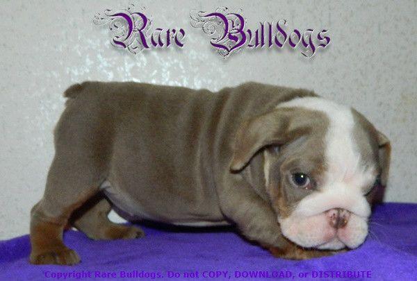 Girl Akc English Bulldog Lilac Trindle Mini Nickname Prima
