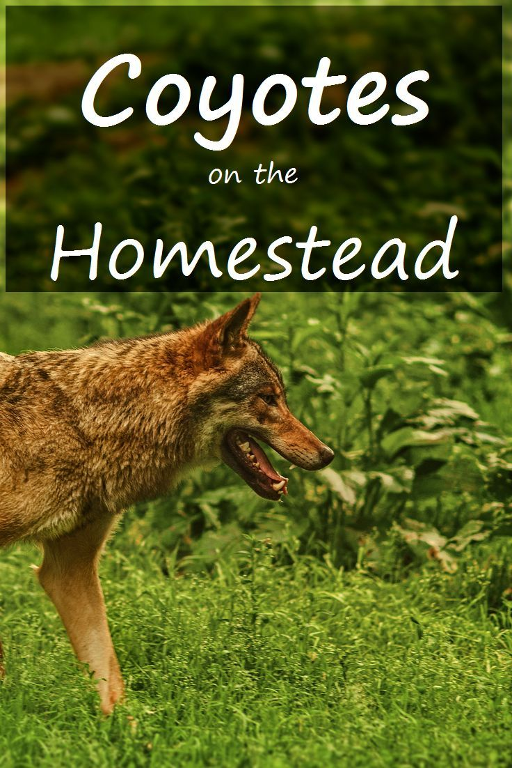 Coyotes Living With Coyotes In The Woods Of Maine Homesteading