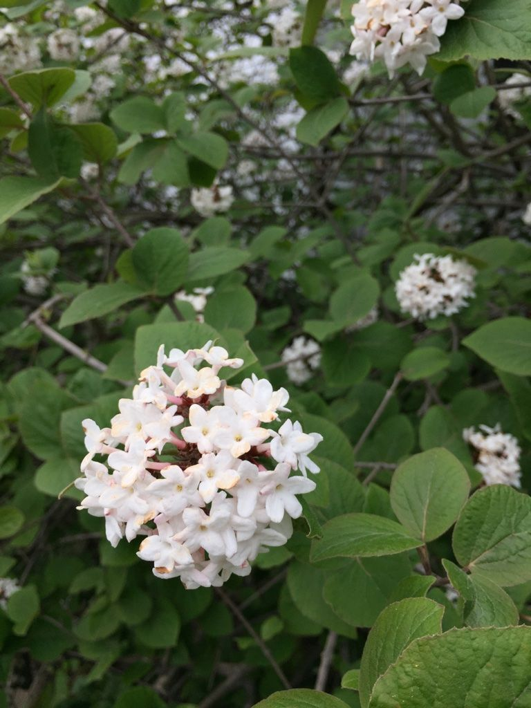 Great Smelling Flowers On Bay St In Cambridge In May White Lilac I