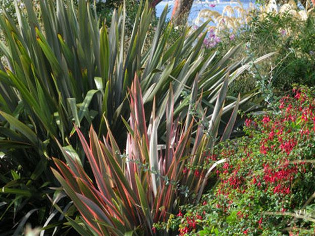 New Zealand Flax Companion Planting Google Search Plants New Zealand Flax Companion Planting