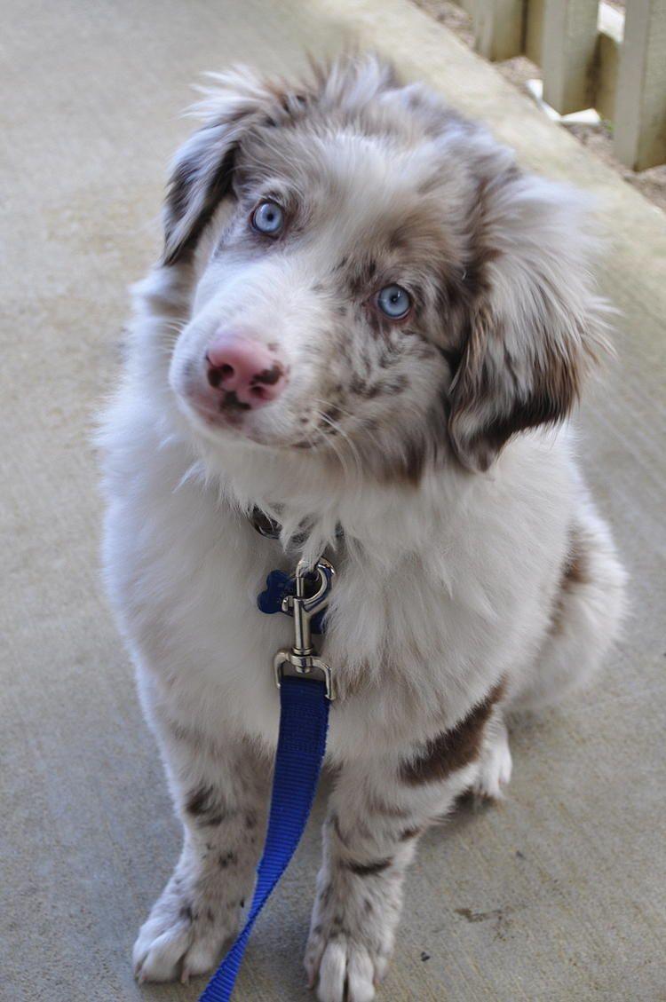 Australian Shepherd Red Merle No Copper Australian Shepherd Blue