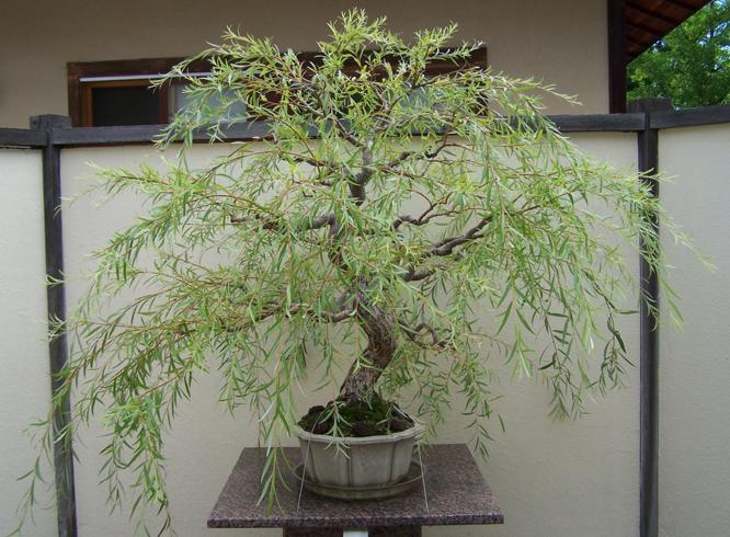 Weeping Willow Bonsai Bonsai Tree Types Bonsai Indoor Bonsai Tree