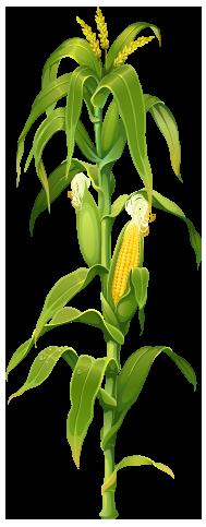 Corn Field Google Search Planta De Maíz Maiz Dibujo Y