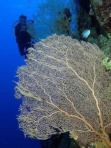 Fan coral fan coral fan publicscrutiny Images
