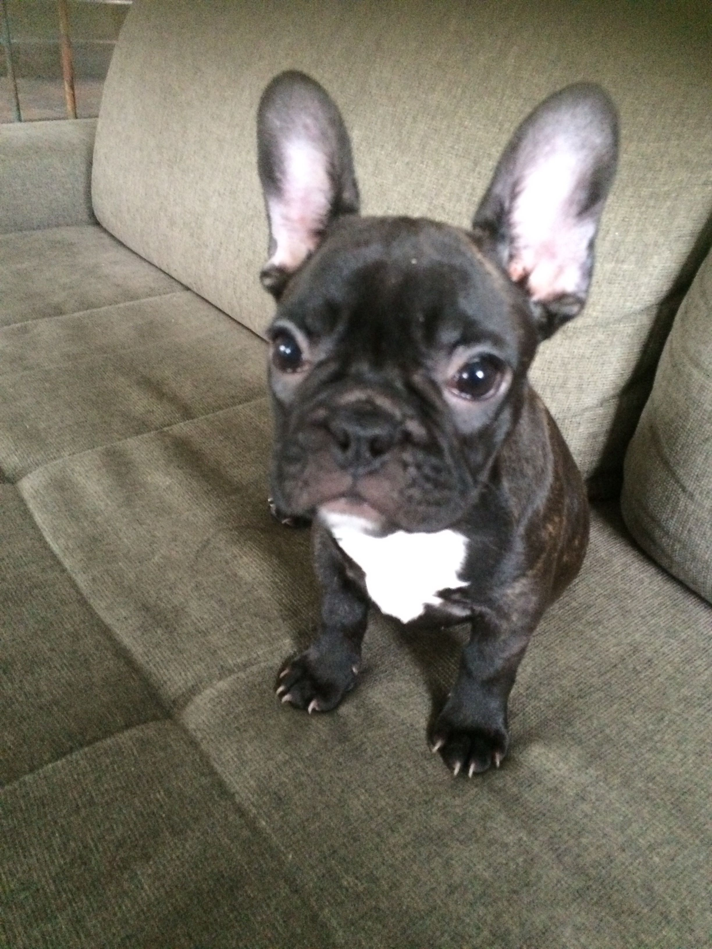 French Bulldog Puppy Helly Urlaub Mit Hund Hunde Maus