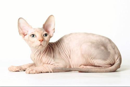 Kenali 8 Baka Kucing Yang Paling Mahal Dan Paling Digemari Di Dunia Pedigree Cats Cat Breeds Sphynx Cat