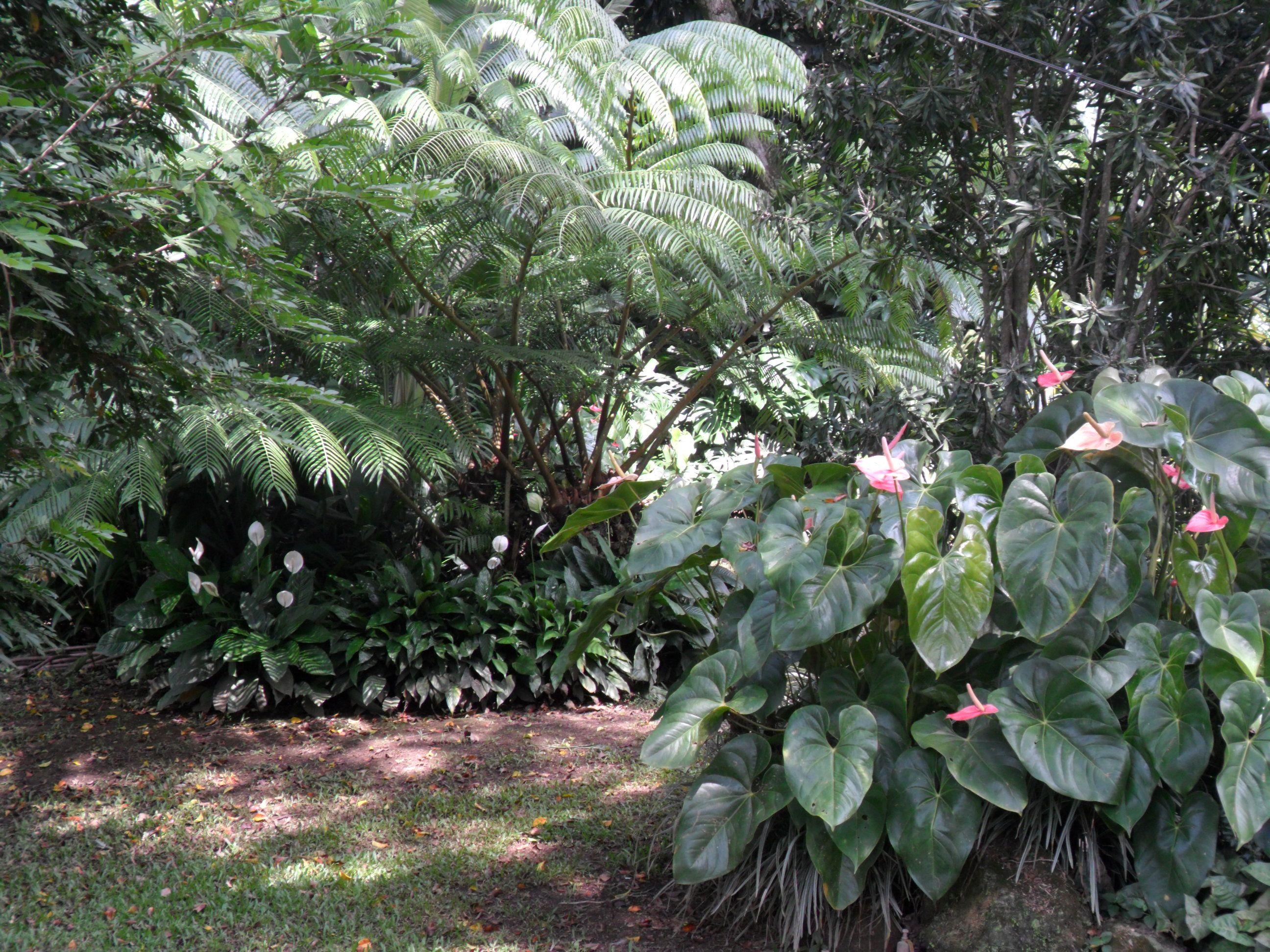 Plantas tropicales helechos anturios mi jardin for Jardines de anturios