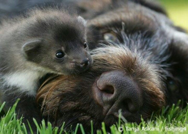 Ferret And Dog Ferrets Pinterest Animals Animal