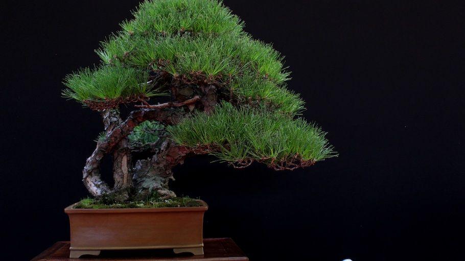One of four winning trees at the Bonsai San Show: Pinus Densiflora by Luis Baliño #bonsai