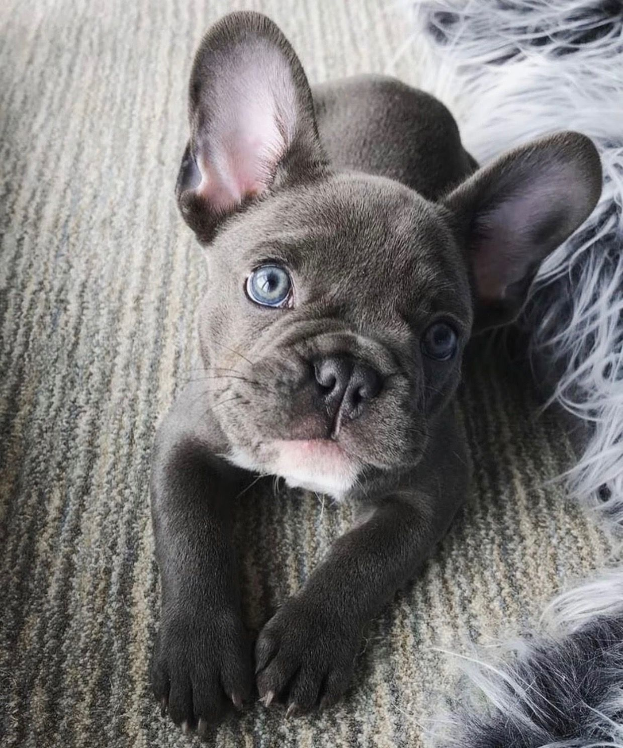 the cutest little french bulldog with blue eyes and a gray