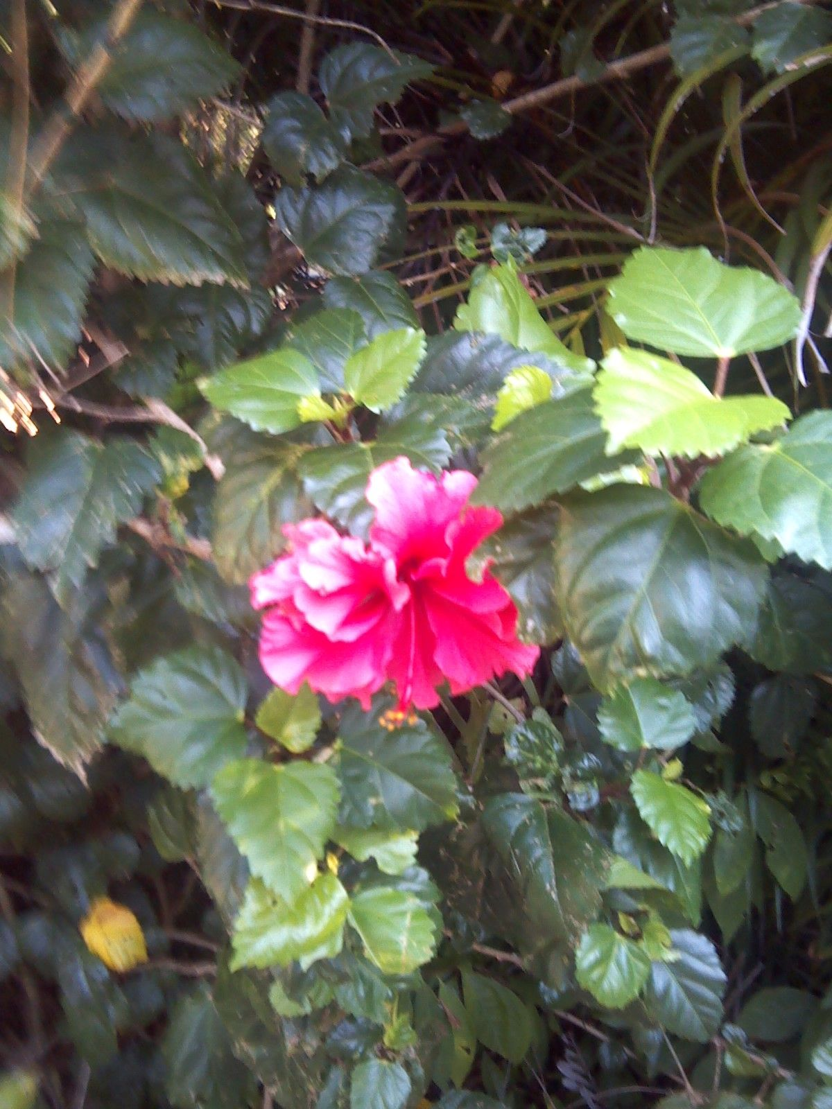 Hibiscus Leaves And Flowers Are Good Goat Feed Goatvet Goats