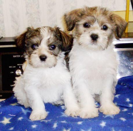 Shih Tzu Poodle Mix Puppies And Kitties Cute Animals Shih Tzu Poodle Mix