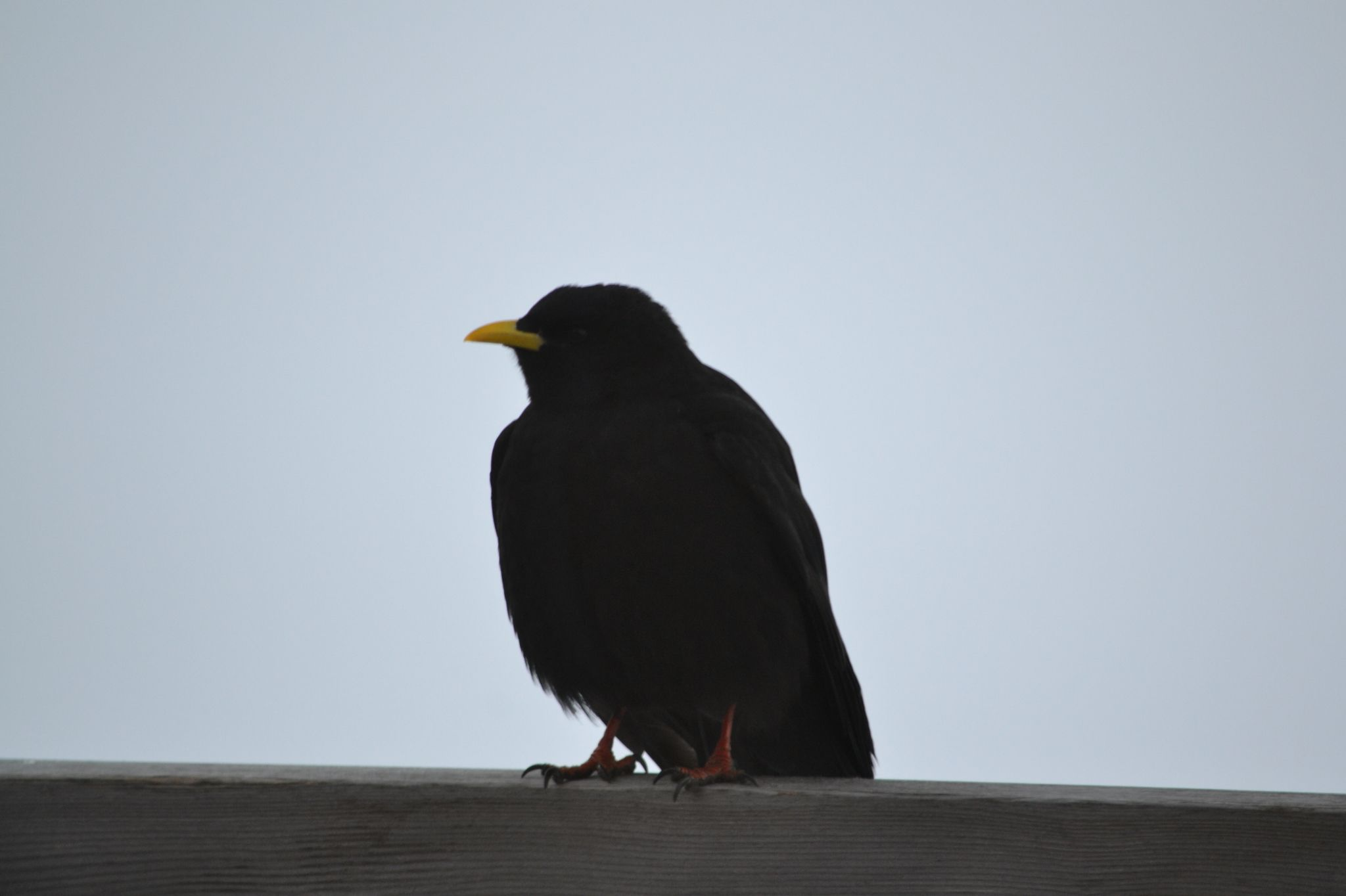 Corvo delle Dolomiti